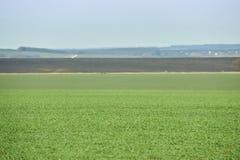 Paesaggio rurale Campo verde del frumento autunnale con i vicoli della neve Sorgente in Ucraina fotografia stock libera da diritti