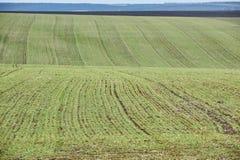 Paesaggio rurale Campo verde del frumento autunnale con i vicoli della neve Sorgente in Ucraina fotografie stock