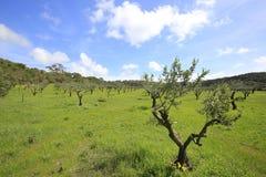 Paesaggio rurale con di olivo, i lotti di verde ed il cielo blu Immagini Stock