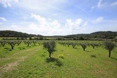 Paesaggio rurale con di olivo, i lotti di verde ed il cielo blu Immagini Stock Libere da Diritti