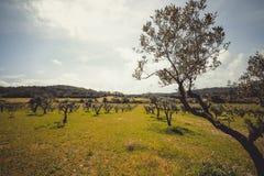 Paesaggio rurale con di olivo, i lotti di verde ed il cielo blu Fotografie Stock Libere da Diritti