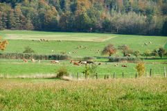 Paesaggio rurale con il bestiame Immagine Stock Libera da Diritti