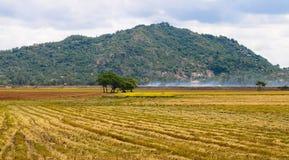 Paesaggio rurale con il giacimento raccolto del riso Fotografia Stock
