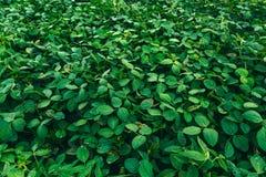 Paesaggio rurale con il giacimento verde fresco della soia soia Immagine Stock