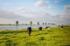 Paesaggio rurale con le mucche e un fiume Fotografia Stock