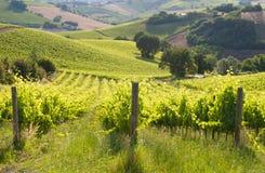 Paesaggio rurale con una vigna verde fra le colline fotografia stock libera da diritti
