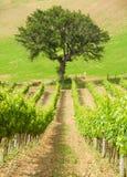 Paesaggio rurale con una vigna verde fra le colline fotografia stock