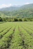 Paesaggio rurale dell'azienda agricola del tè Fotografie Stock