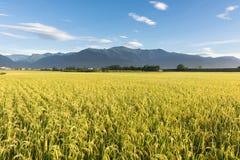 Paesaggio rurale dell'azienda agricola della risaia Fotografie Stock Libere da Diritti