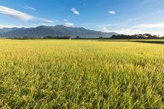 Paesaggio rurale dell'azienda agricola della risaia Immagini Stock