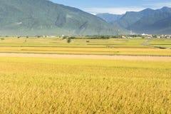 Paesaggio rurale dell'azienda agricola della risaia Fotografie Stock