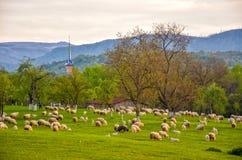 Paesaggio rurale della molla scenica con il pascolo delle pecore su priorità alta nel villaggio di Sapanta, Maramures, Romania Fotografia Stock