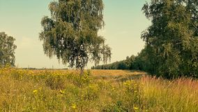 Paesaggio rurale di estate con la betulla archivi video