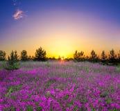 Paesaggio rurale di estate con la fioritura dei fiori porpora su un prato Fotografia Stock Libera da Diritti