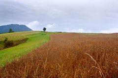 Paesaggio rurale di estate - giacimento maturo del miglio contro le montagne Carpathians occidentali del fondo Fotografia Stock