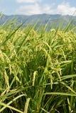 Paesaggio rurale di risaia Immagini Stock Libere da Diritti