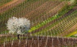 Paesaggio rurale europeo della primavera all'albero di fioritura di Sunny Day With Great First ed alle file di giovani vigne Appl Fotografie Stock