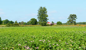 Paesaggio rurale. Giacimento della patata Fotografia Stock
