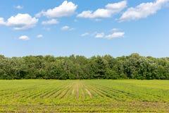 Paesaggio rurale - il raccolto rema la conduzione al cielo con le nuvole Fotografie Stock