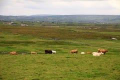 Paesaggio rurale irlandese con le mucche Immagini Stock Libere da Diritti