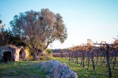 Paesaggio rurale italiano con una rovina di Olive Tree And An Old vicino immagini stock libere da diritti
