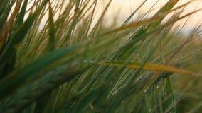 Paesaggio rurale nell'ambito di luce solare brillante Orecchie di maturazione del fondo del giacimento di grano del prato Concett Immagini Stock