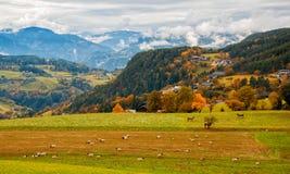 Paesaggio rurale stupefacente con le pecore e le mucche sul pascolo nelle alpi della dolomia, Italia Fotografie Stock