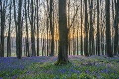 Paesaggio sbalorditivo della foresta di campanula in primavera nel titolo inglese Fotografia Stock Libera da Diritti