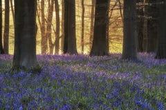 Paesaggio sbalorditivo della foresta di campanula in primavera nel titolo inglese Fotografie Stock