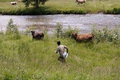 Paesaggio scenico con l'uomo che raduna le mucche in Romania Fotografia Stock Libera da Diritti
