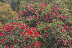 Paesaggio scenico luminoso con la fioritura fresca del fiore rosso antico del rododendro sulla luce di mattina Stagione specifica immagine stock