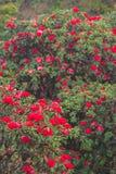 Paesaggio scenico luminoso con la fioritura fresca del fiore rosso antico del rododendro sulla luce di mattina Stagione specifica fotografia stock libera da diritti