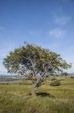 Paesaggio scozzese dell'albero Immagine Stock