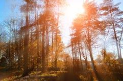 Paesaggio soleggiato della foresta di autunno - gli alberi ed i raggi di sole di autunno della foresta che splendono attraverso l Immagine Stock Libera da Diritti