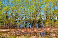 Paesaggio soleggiato della molla - il boschetto del salice si è sommerso dal floo della molla Fotografie Stock Libere da Diritti