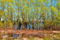 Paesaggio soleggiato della molla - il boschetto del salice si è sommerso dall'inondazione della molla con le canne sulla priorità Fotografia Stock