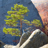 Paesaggio solo della montagna dell'albero di abete Immagine Stock Libera da Diritti