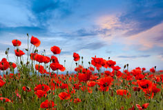Paesaggio stupefacente del campo del papavero contro il cielo variopinto Fotografia Stock