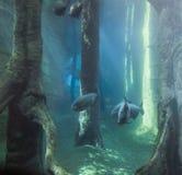 Paesaggio subacqueo con i pesci di Tambaqui fotografia stock libera da diritti