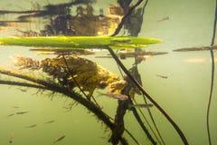 Paesaggio subacqueo del fiume con il giglio, la frittura e la riflessione fotografia stock libera da diritti