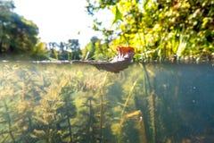 Paesaggio subacqueo del fiume con la canna e foresta al disopra della superficie fotografia stock libera da diritti