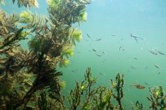 Paesaggio subacqueo del fiume con le alghe Immagini Stock