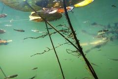 Paesaggio subacqueo del fiume con le alghe fotografie stock