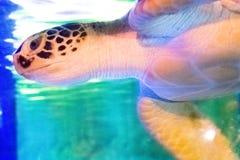Paesaggio subacqueo del mondo, barriera corallina variopinta con turt marino fotografie stock
