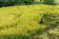 Paesaggio a terrazze del giacimento del riso con gli agricoltori che raccolgono riso sul campo in Y Ty, distretto di Xat del pipi Fotografia Stock