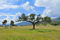 Paesaggio tipico con l'albero ad Estremadura (Spagna) Immagine Stock