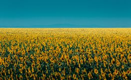 Paesaggio variopinto del prato del girasole di estate sul fondo del cielo blu Concetto di agricoltura della campagna Fotografia Stock