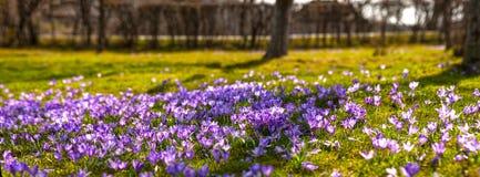 Paesaggio variopinto della molla in villaggio carpatico con i campi dei croco di fioritura Immagine Stock Libera da Diritti