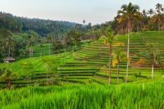 Paesaggio verde dei terrazzi del riso sul fondo della montagna Immagine Stock