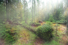 Paesaggio verde dell'abetaia Immagini Stock Libere da Diritti